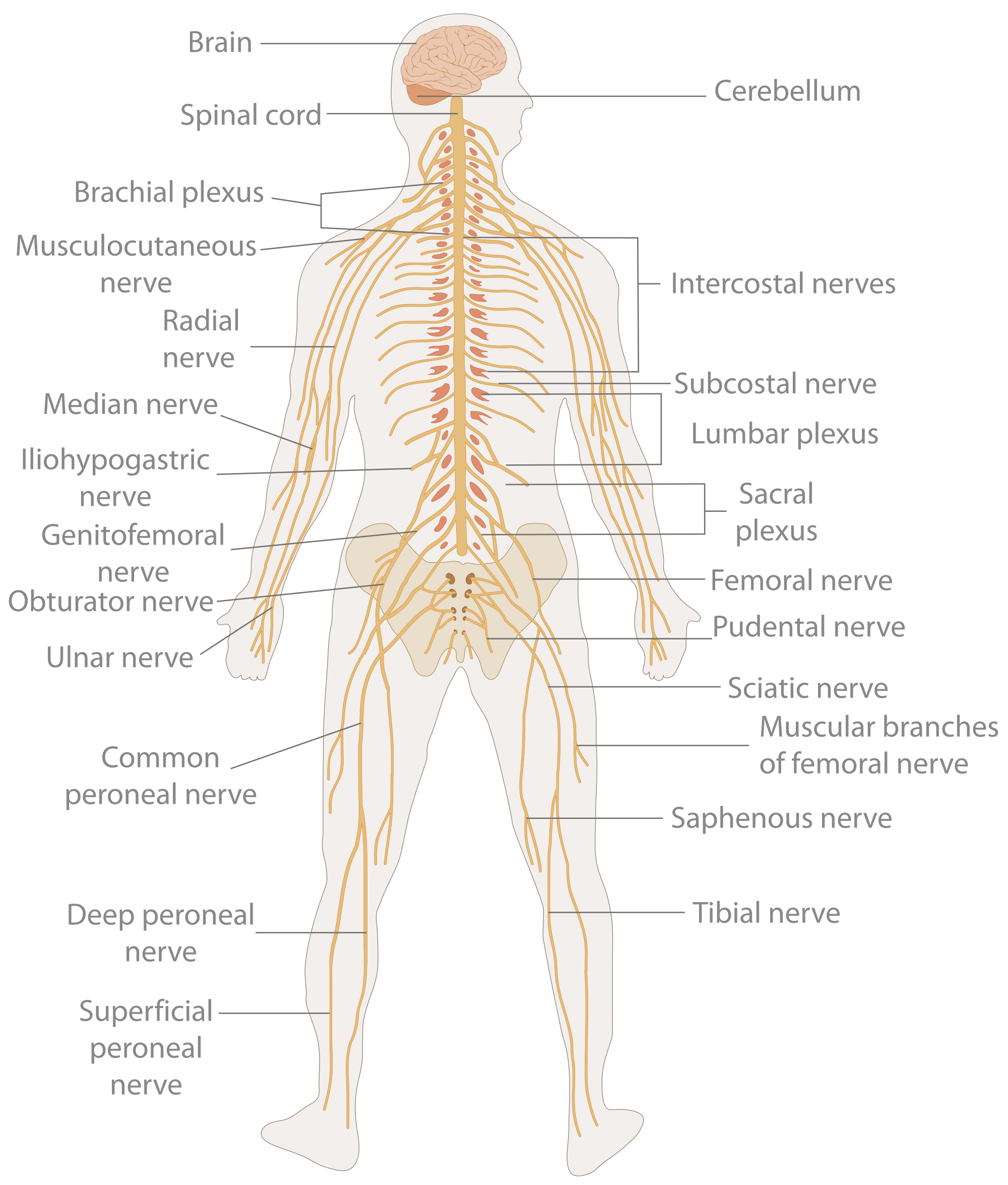 Nervous system triggers pain sensation dr michael a castillo md nervous system diagram ccuart Choice Image