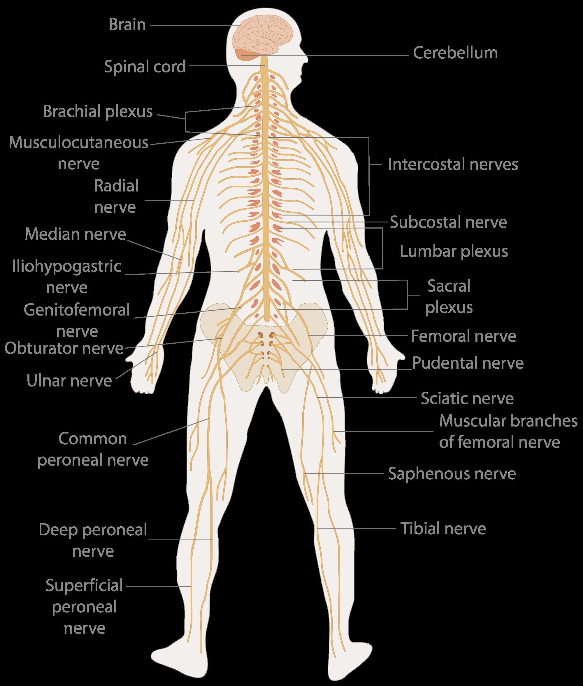 Pain Body Diagram Nerves House Wiring Diagram Symbols
